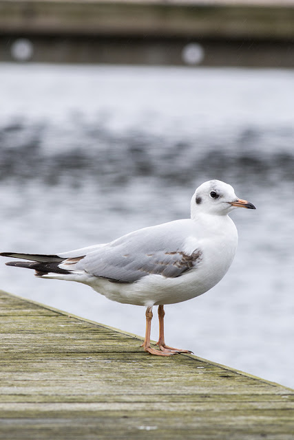 Another Black-headed Gull