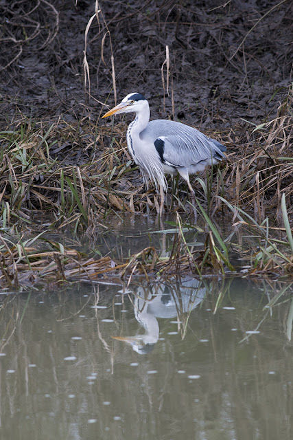 Grey Heron along the banks of the Ouse