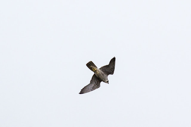 Peregrine starting a stoop