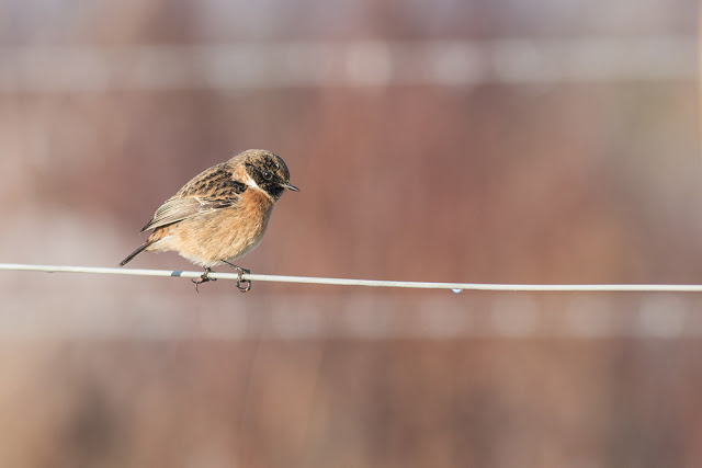 Stonechat on Wire Fence