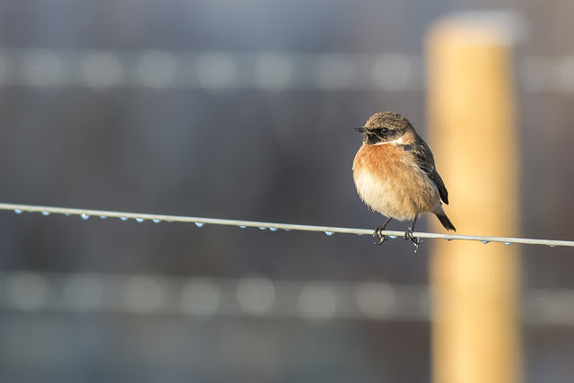 The Full Glory of a Male Stonechat