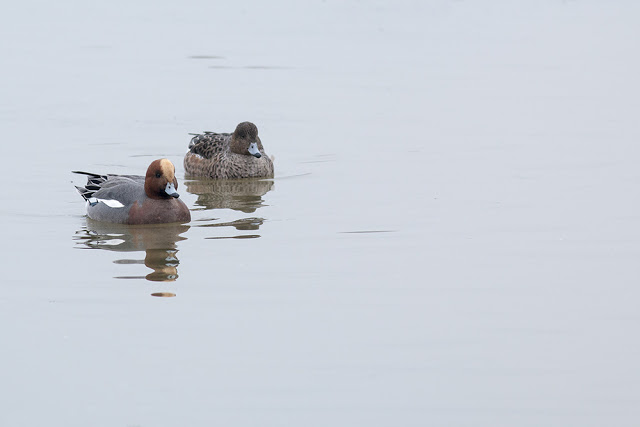 Frosts Mists and Frozen Lakes - Wigeon swimming