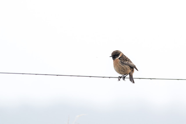 Male Stonechat on wire fence
