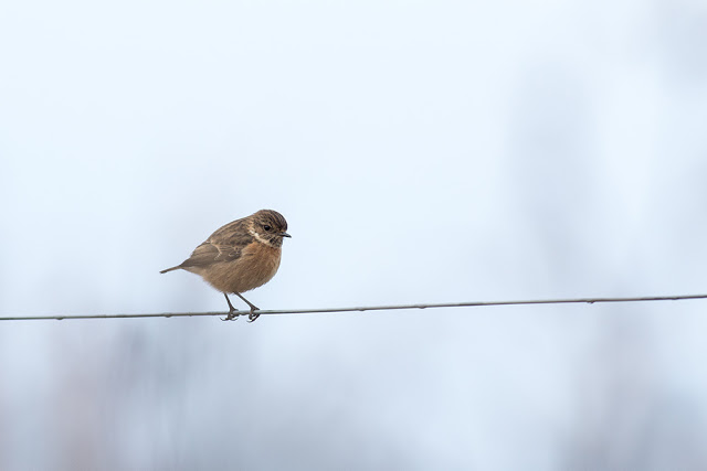 female Stonechat on wire fence