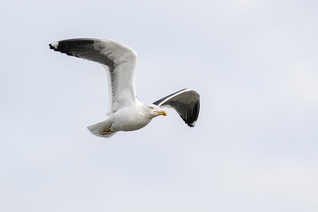 Lesser Black-backed Gull in Flight (2)
