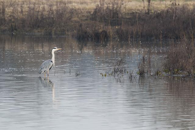 Grey Heron hunting in the Margins