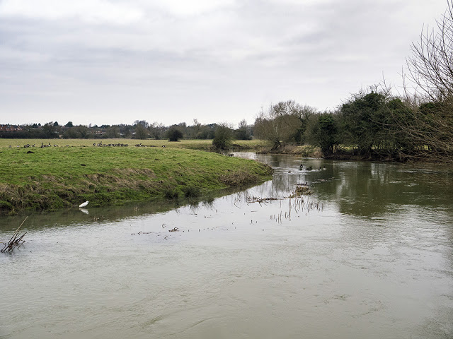 Geese and Egret on the River Ouse