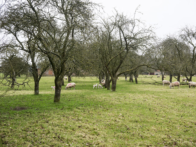 Sheep and Lamb in Orchard
