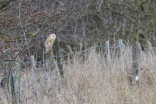 Barn Owl on Fence Post