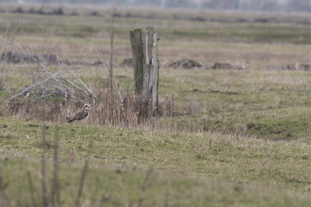 Short Eared Owl on the Ground