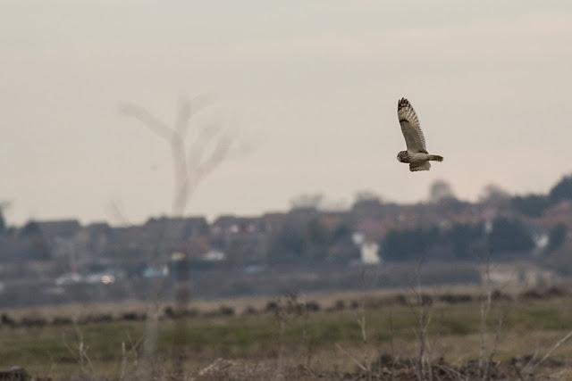 Dusk Flying Short-eared Owl