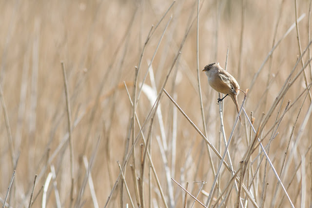 Bearded Reedling at Willen Lake