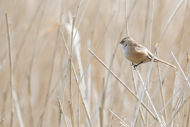 Female Bearded Tit at Willen Lake