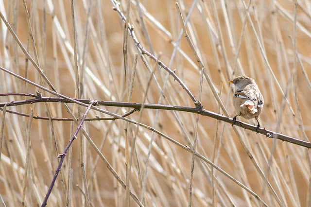 Stunning views of the Bearded Tit at Willen Lake