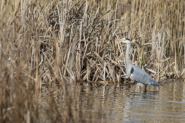 Grey Heron among the reeds