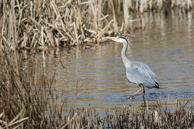 Another shot of the Grey Heron