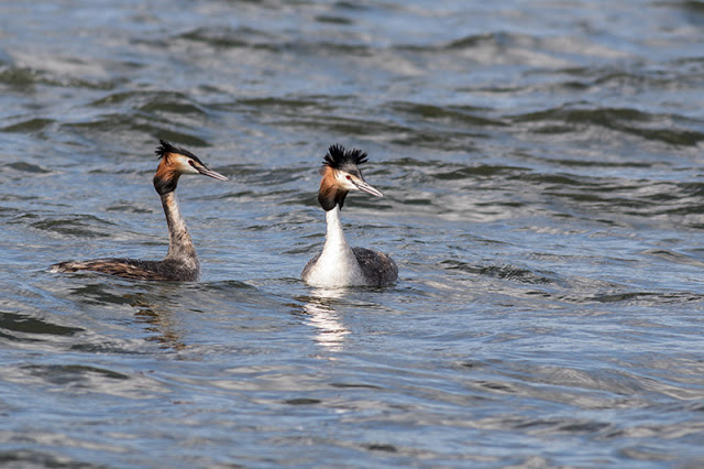 Great Crested Grebe pairing up