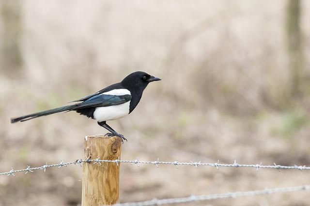 Black-billed Magpie Study 1