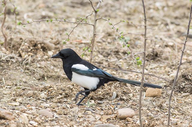 Black-billed Magpie Study 3