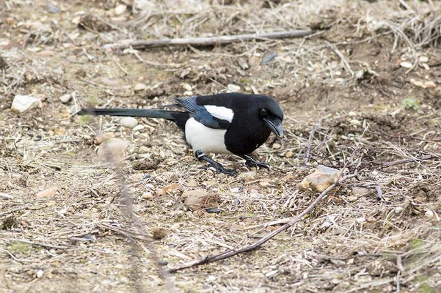 Black-billed Magpie Study 4