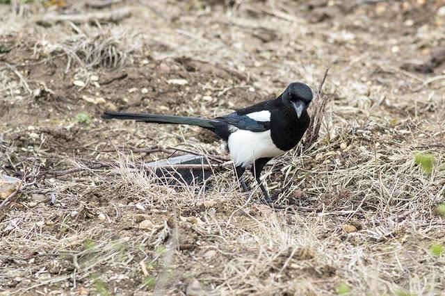 Black-billed Magpie Study 6