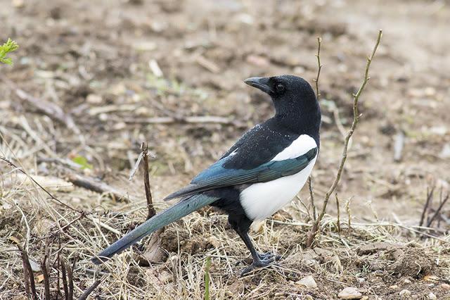 Black-billed Magpie Study 7