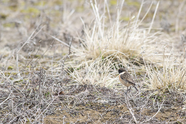 Not Much - Stonechat on the ground