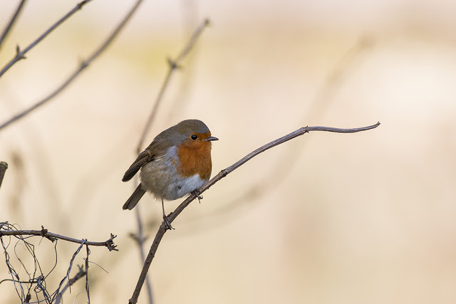 The Start of Spring - Robin in the shade