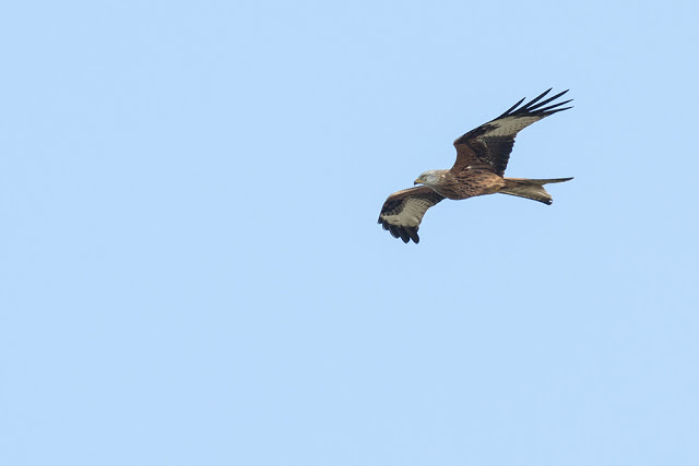 Searching for Carrion? Red Kite