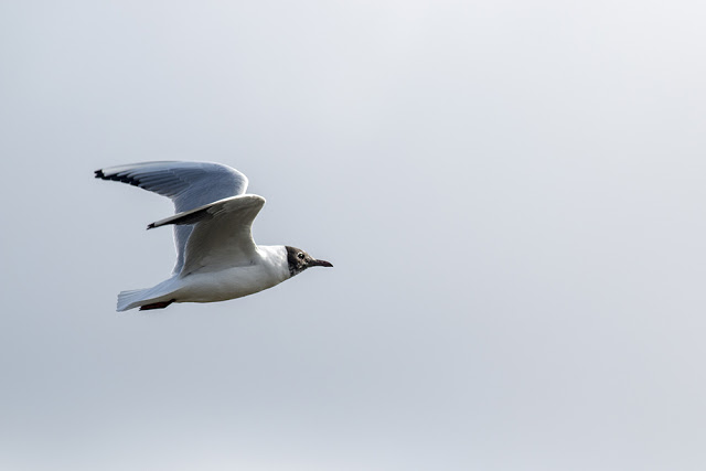 Black headed gull with hood coming on