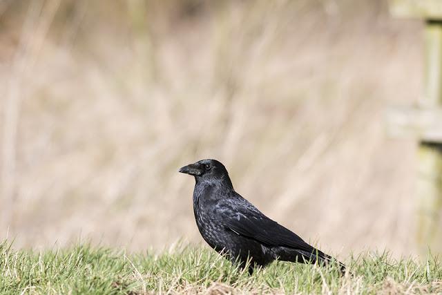 Same crow, different pose