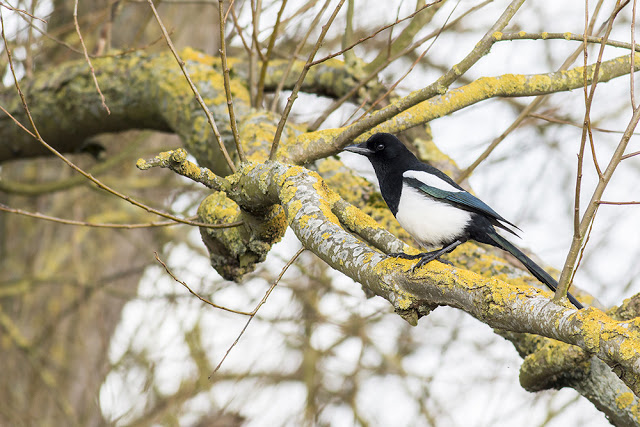 More Corvid action - Magpie