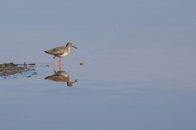 Redshank reflections