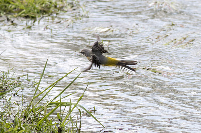 Grey Wagtail flying in