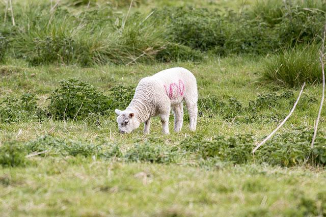 Lamb 100