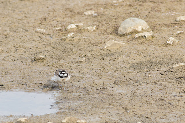Rule of Thirds - Little Ringed Plover