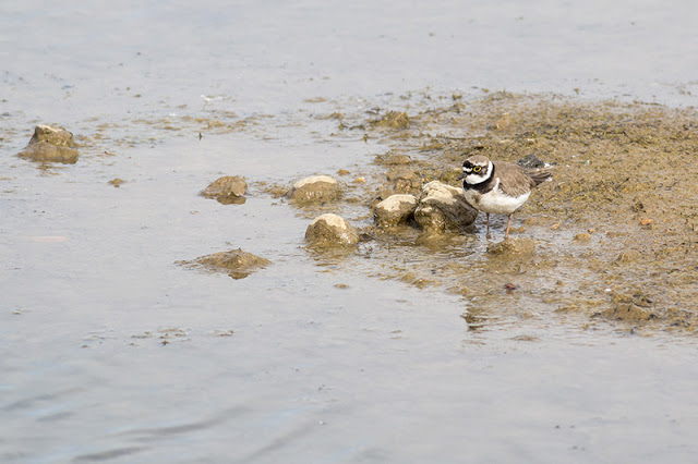 Little Ringed Plover by Rocks
