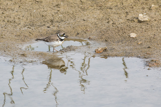 Wading the pools - Little Ringed Plover