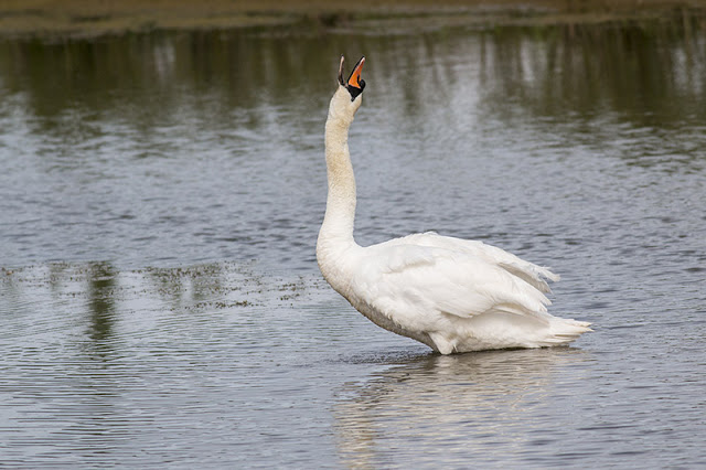 Mute swan throwing back its head
