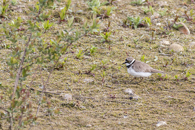 Another Little Ringed Plover photo