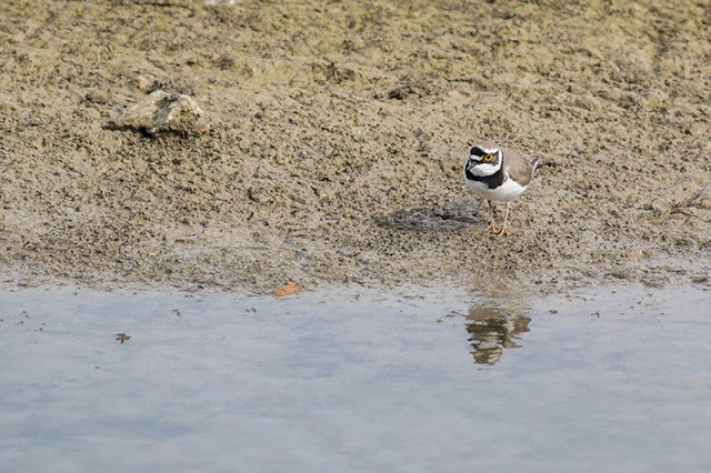 peering in the water - Little Ringed Plover