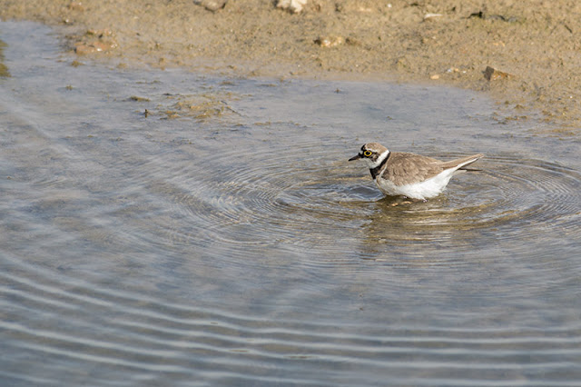 Little Ringed Plover bathing