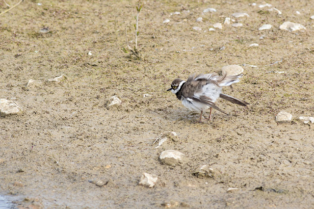 Shaking off the excess water - Little Ringed Plover