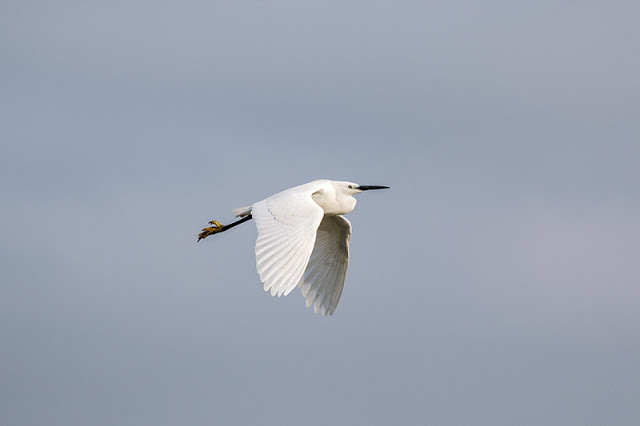 Another of the Egret