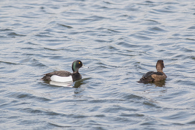Tufted Duck (Female and Male)
