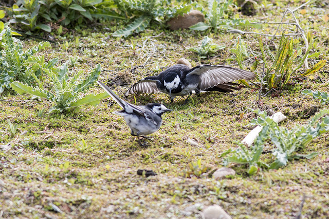 Bowing Down - Pied Wagtail Display