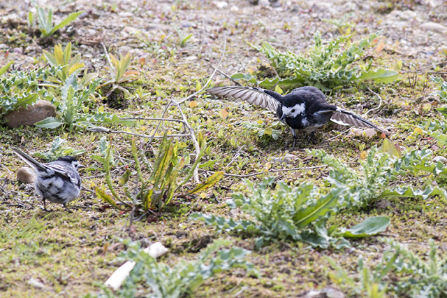 Wing Shaking - Pied Wagtail Display