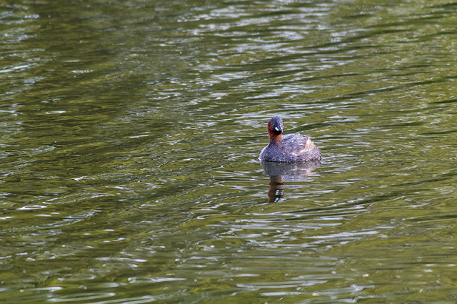 Another of the Little Grebe
