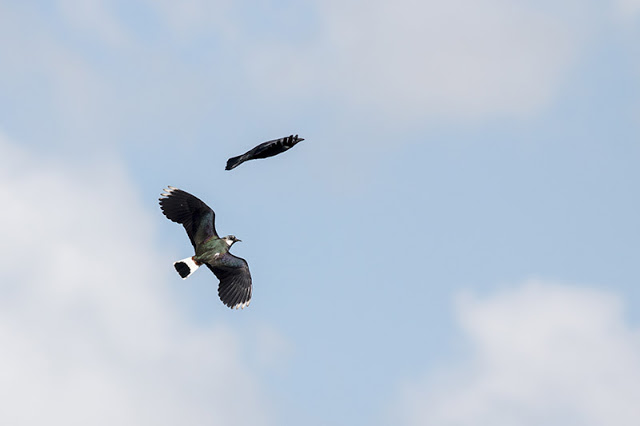 Lapwing seeing off a local Crow