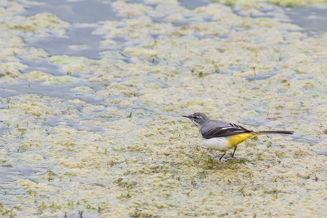 Grey Wagtail about to take off